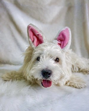 Happy Easter from our west highland terrier named Hogan.🐰🐣🐶 He hasn't had his haircut yet that's why he looks more like a maltese here.😂 Where's the best place to get him groomed? Any recos will be much appreciated.🙏🏻💕 #westieph #westhighlandterrier #easterph