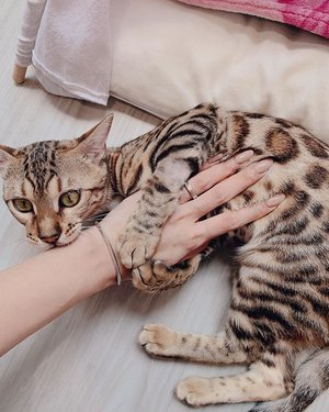 "Nude nails matching the colour of wasabi the #bengalcat 😍 have you girls tried out @flamingoplayground polygel extensions? It's sooo lasting!  Quote ""LEANNE10"" for 10% off services ⭐️ @flamingoplayground . . . #clozette #bengalkitten #nailsofinstagram #sgnails #sgbeauty #beautytips #nailsonfleek #nailsnailsnails #nailsonfleek #instagramnails"