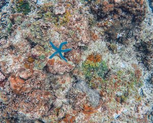 There's an amazing world beneath the ocean, and I hope someday I could explore much longer (another PR to beat 😂) Hello there,  mr blue star (Blue Linckia) .  PS. We didnt touch anything seen in this photo. We're instructed to keep distance and not to touch the corals, and the other sea creatures. 😊
